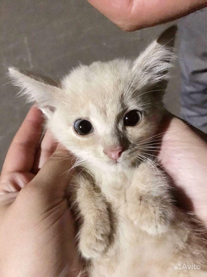 Бесплатно -Котенок сибирской породы