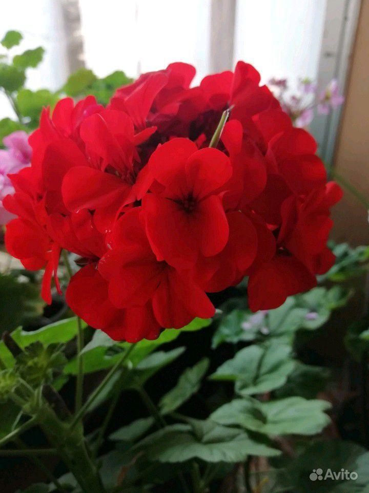 Герань белая, розовая, красная, малиновая купить на Зозу.ру - фотография № 6