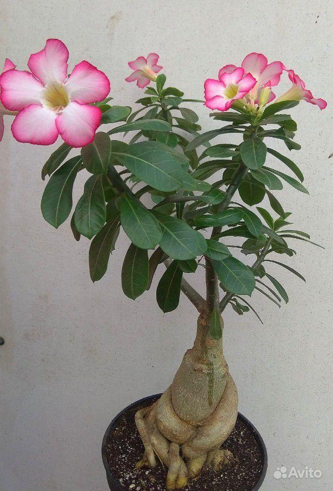 Адениумы- Роза пустыни купить на Зозу.ру - фотография № 4