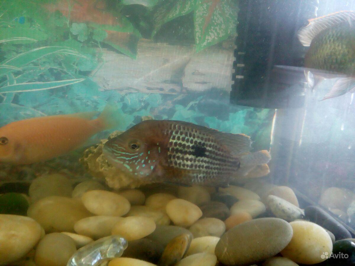 Аквариумная рыбка купить на Зозу.ру - фотография № 3