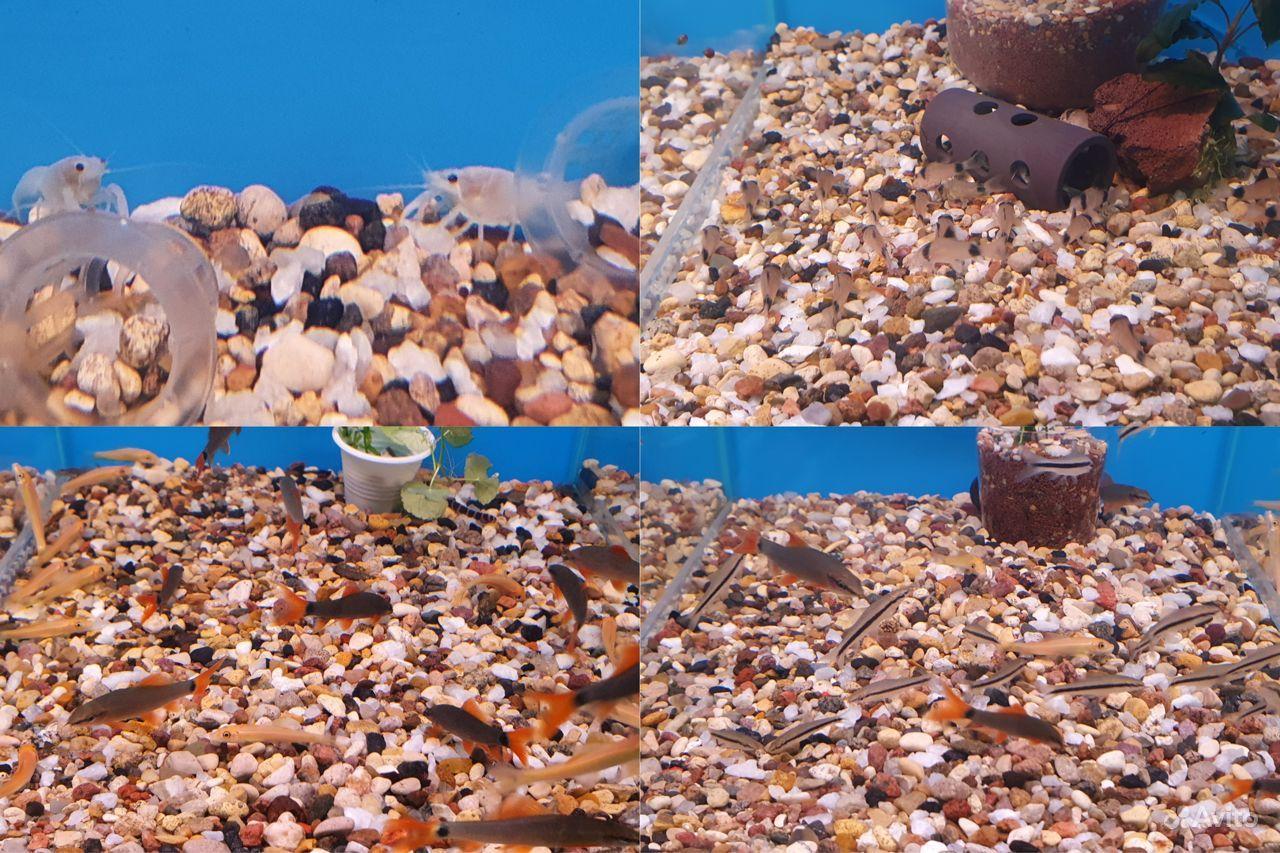 Аквариумные рыбки купить на Зозу.ру - фотография № 4