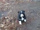 Продам щенка лайки (девочка), 1 месяц. Ест все