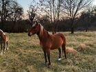 Продаю или меняю лошадь