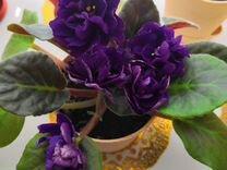 Фиалка чёрная женчужина. крупная детка — Растения в Рязани