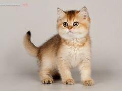 Скачать авито котята британские новосибирск