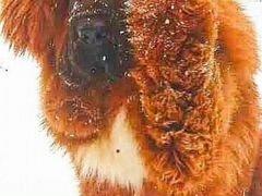 Щенки тибетского мастифа от чемпионов породы