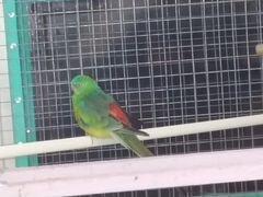 Попугай певчий травянистый