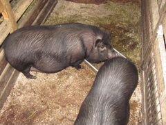 Вьетнамская вислобрюхая свиноматка