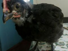 Инкубационнное яйцо и цыплята породных кур