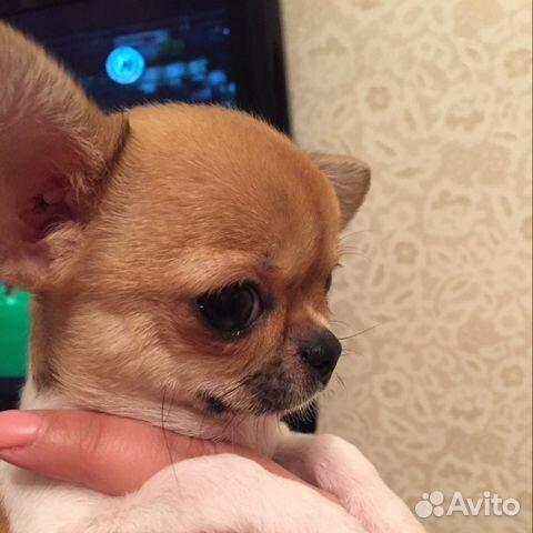 поговорим купить щенка чихуахуа в первоуральске авито соответствии санитарным законодательством