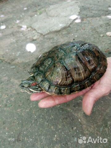 Объявления новочеркасск куплю черепаху продажа бизнеса в г.твери