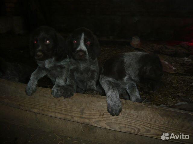 котлована купить щенков дратхаара в ростовской области картинках