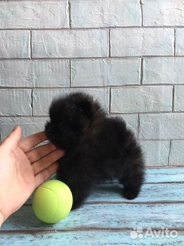Продаются взрослые шпицы и щенки купить на Зозу.ру - фотография № 10