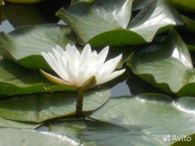 Нимфеи (водные лилии ) купить 6
