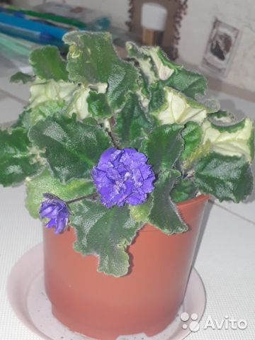 Violet 89832925161 buy 1