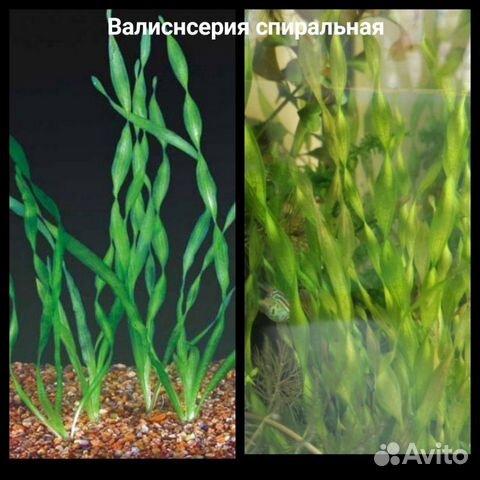Аквариумные растения - 9 шт  89519173738 купить 6