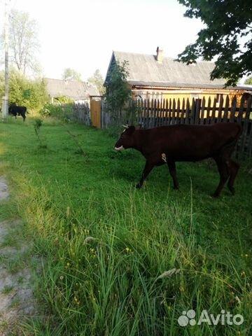 Корова  купить 6