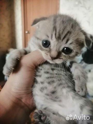 Шотландские котята  89129231319 купить 2
