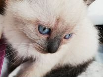 Ласковые кошечки ищут свой дом:)