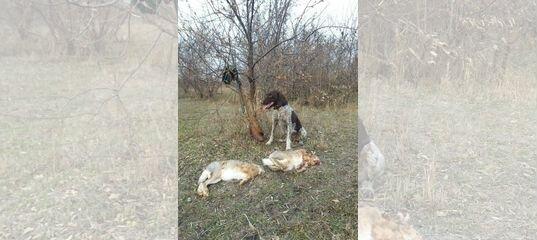 Дредхаар купить в Астраханской области | Животные и зоотовары | Авито