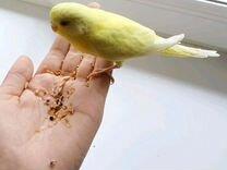 Волнистый попугай птенец