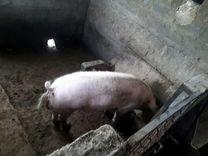 Продается свиньи — Другие животные в Великовечном
