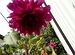Геаргины, лилии