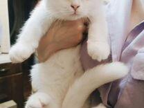 Белая шотландская вислоухая кошечка