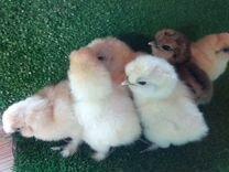 Цыплята китайской шелковой курицы (пуховые куры)