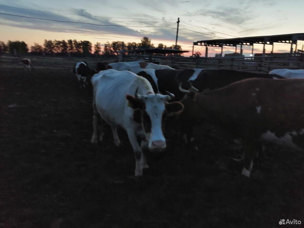Коровы, телки  89003808099 купить 8