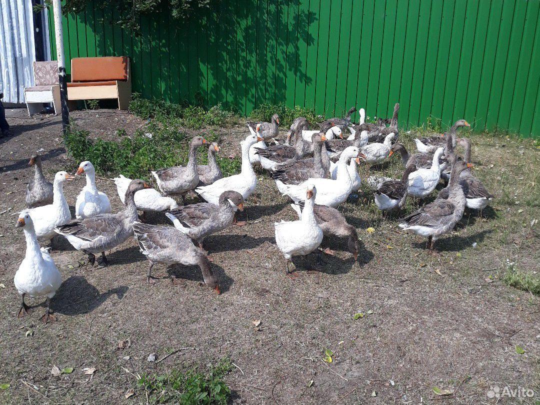 Geese  89091914587 buy 3