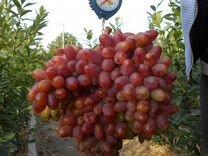 Виноград (саженцы, черенки)