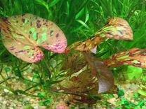 Растения для аквариума