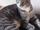 Кошка стерелизованная