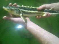 Рыба для пруда для аквариума или узв