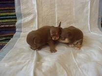 Щенки Чихуахуа к резерву — Собаки в Геленджике