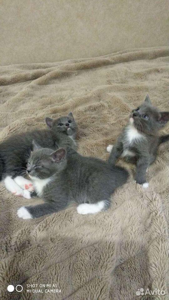 Кошка  89051634220 купить 6