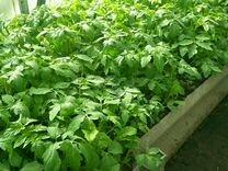 Рассада томатов, перца и капусты