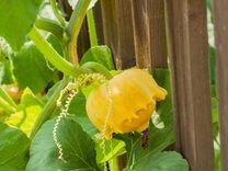 Рассада огурцы фасоль тыквы кабачки патиссоны
