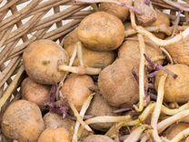 Картофель для посадки с ростками