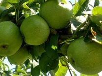 Яблоня поздняя традиционная семиренко