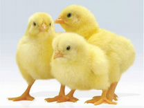 Инкубатор на Ближнем (Цыплята, Муллард, Гусята)