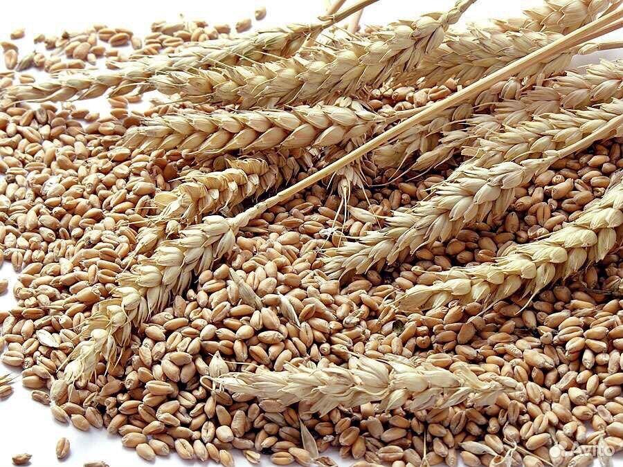 Пшеница  89620307249 купить 1